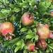Pomegranates by loweygrace