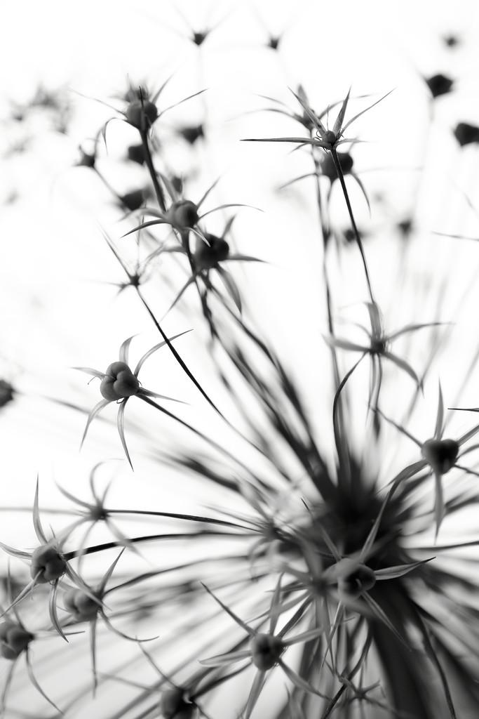 Allium by motherjane