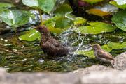 21st Jul 2020 - Bathing lesson