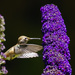 Hummer Approaching the Butterfly Bush