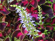 22nd Jul 2020 - Flowering Coleus