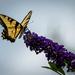 Swallowtail Landing by marylandgirl58