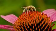 22nd Jul 2020 - leaf cutter bee on pale purple coneflower