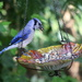 Blue Jay Youngster
