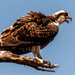 Young Osprey About to Launch! by rickster549
