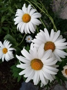22nd Jul 2020 - Evening Daisies