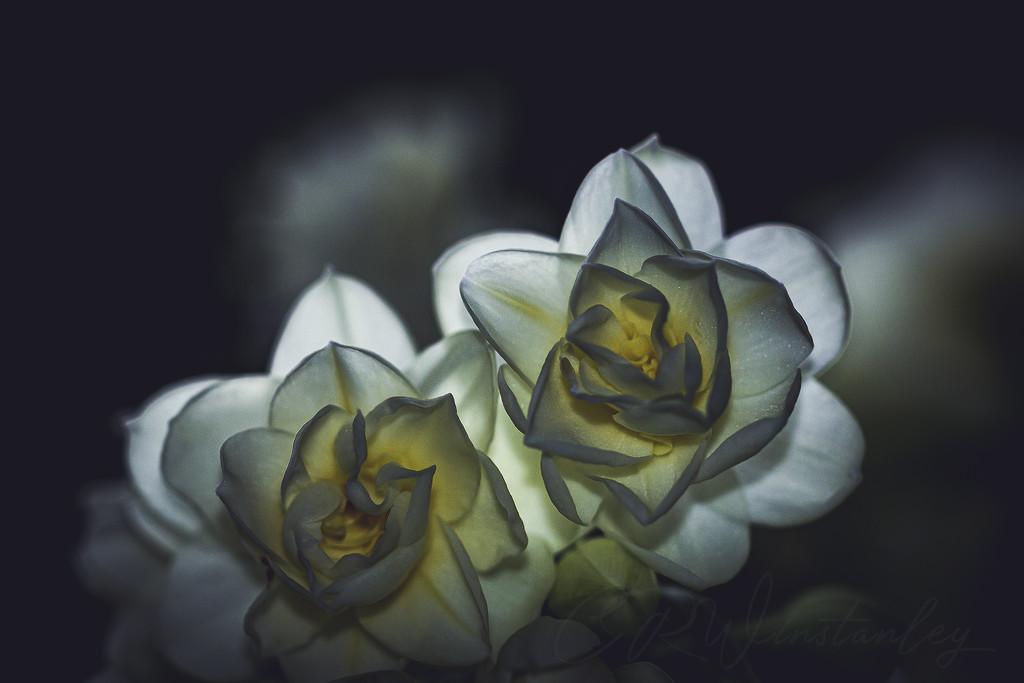 Rose Hybrid by kipper1951