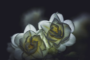 16th Jul 2020 - Rose Hybrid
