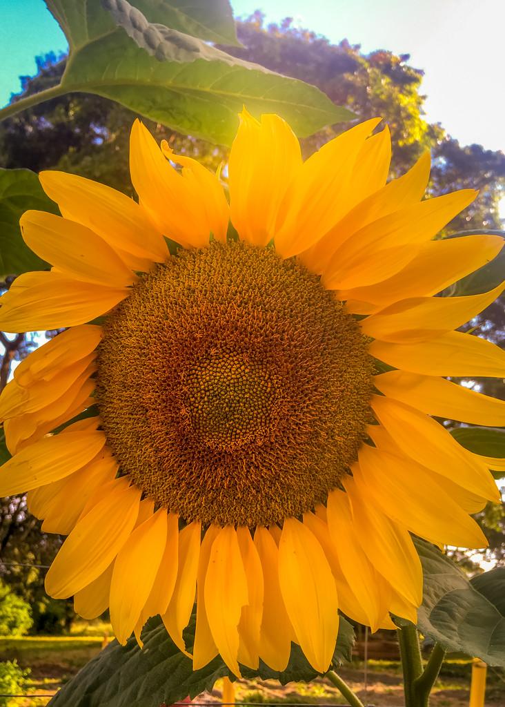 Sunny Flower by zambianlass