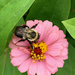 Bee and Zinnia