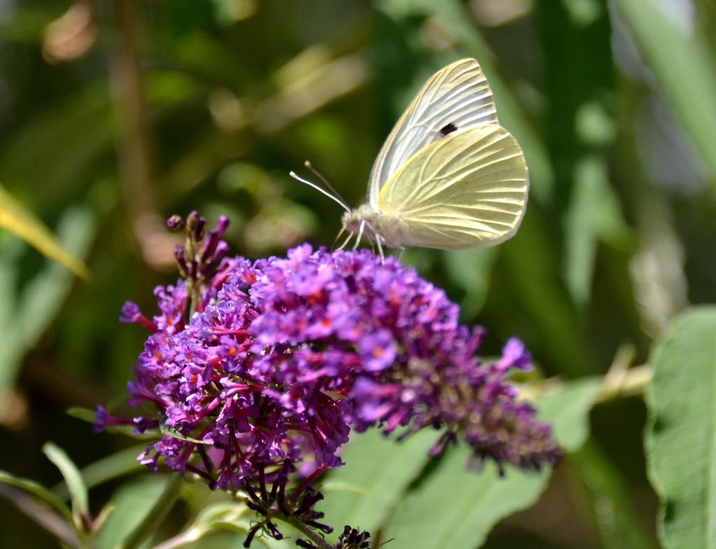 Anothr Butterfly by arkensiel