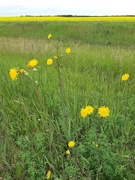23rd Jul 2020 - A Field Of Yellow