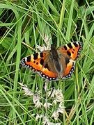 21st Jul 2020 - Butterfly