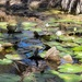Lily Pads in the Pilbara region