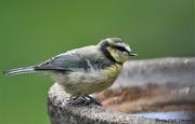 24th Jul 2020 - Visiting the birdbath