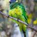 AUSTRALIAN RINGNECK by glendamg