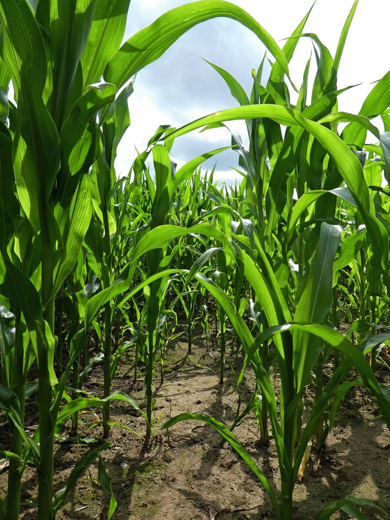 Corn Crop by cmp