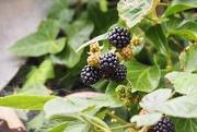 24th Jul 2020 - Hedgerow Blackberries...
