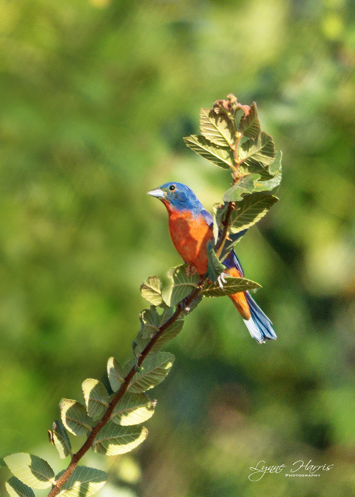 Painted Bunting by lynne5477