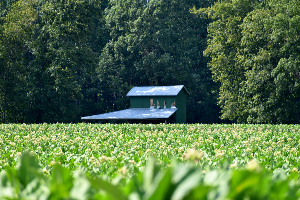 Tobacco and barn by homeschoolmom
