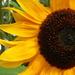 A second sunflower shot today