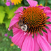 Bumblebee and Echinacea by falcon11