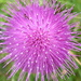 Thistle Do