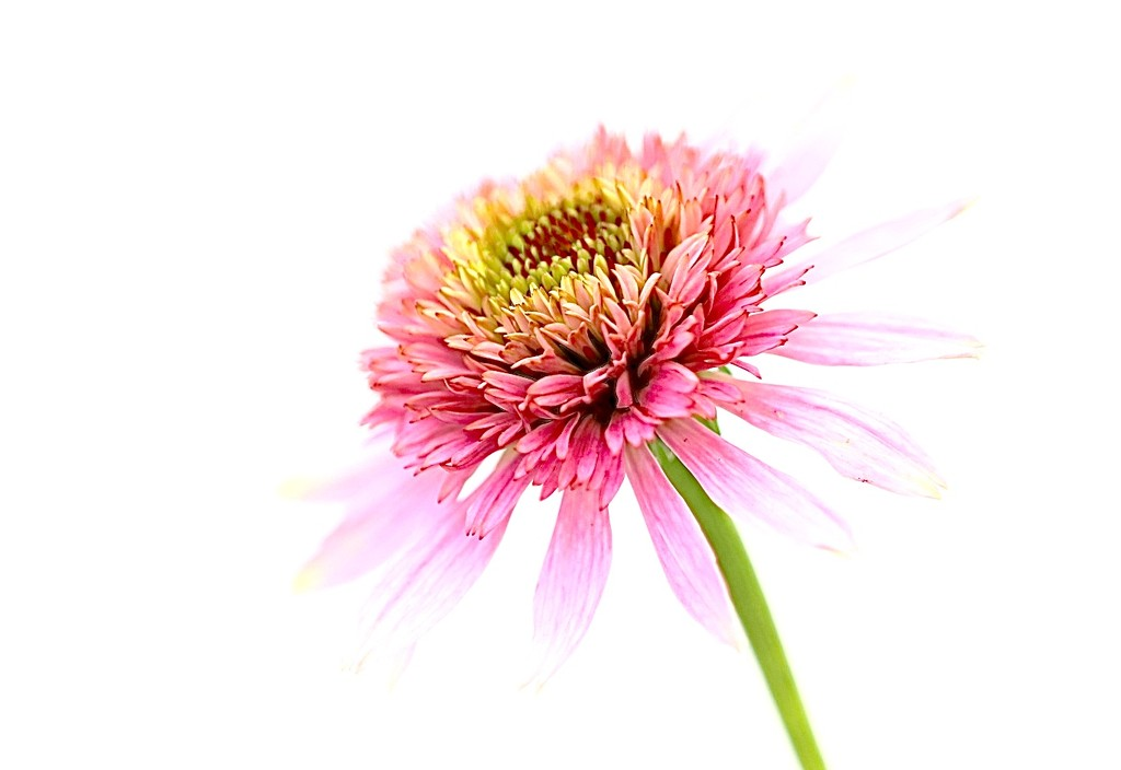 A Splash of Pink by carole_sandford