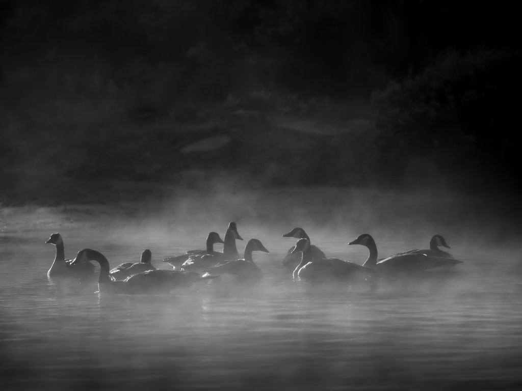 gaggle of geese... by northy