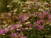 24th Jul 2020 - fleabane and wild bergamot