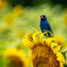 Indigo Bunting on Sunflower by marylandgirl58