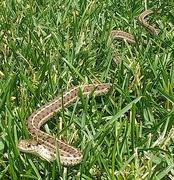 24th Jul 2020 - Garter Snake