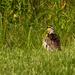 eastern medowlark