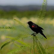 25th Jul 2020 - Red-winged blackbird