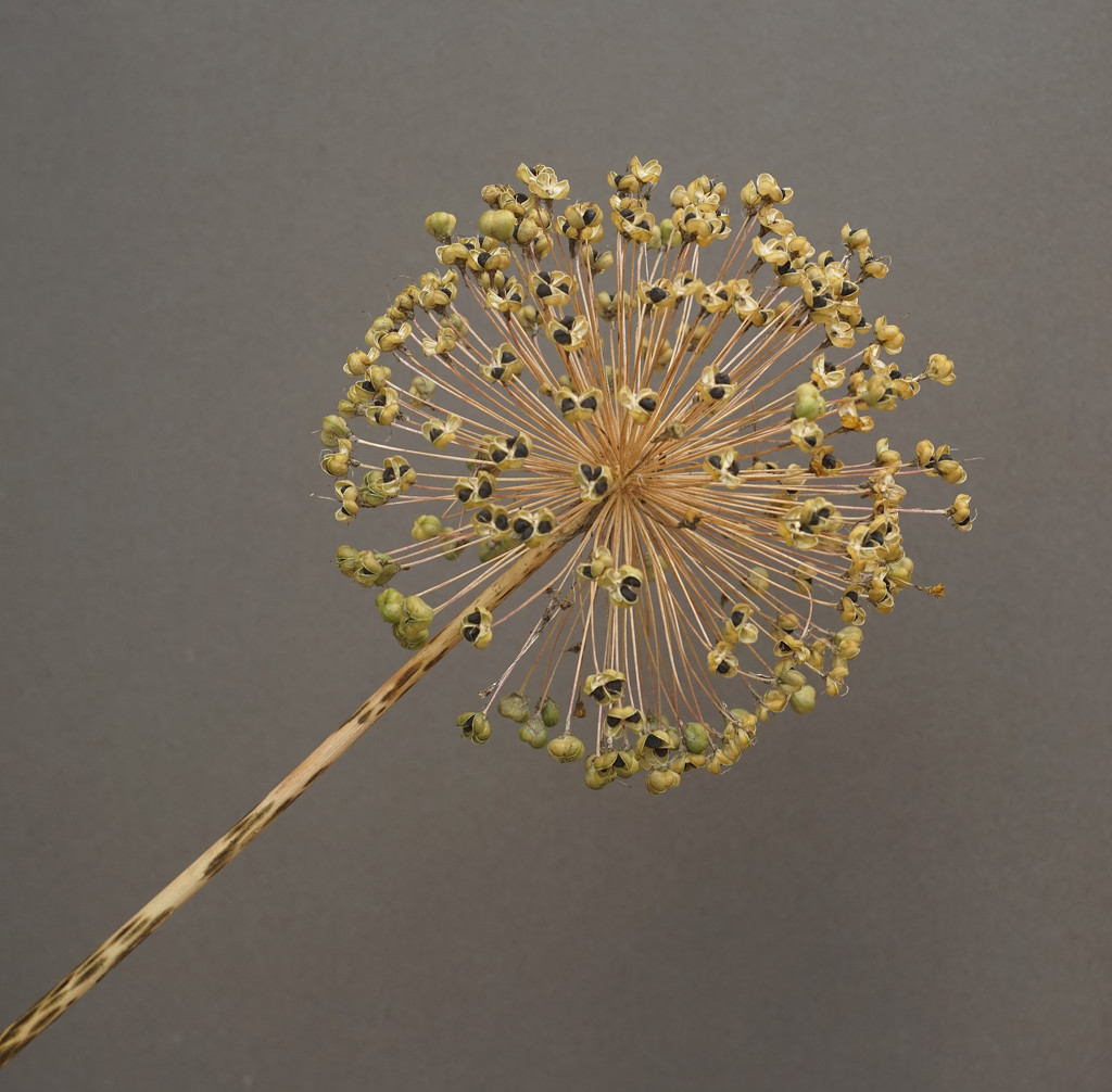 Allium Head (Vintage Helios 44M-4 58mm lens) by phil_howcroft