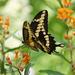 Giant Swallowtail by annepann