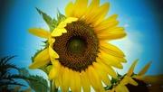 25th Jul 2020 - Sunflower