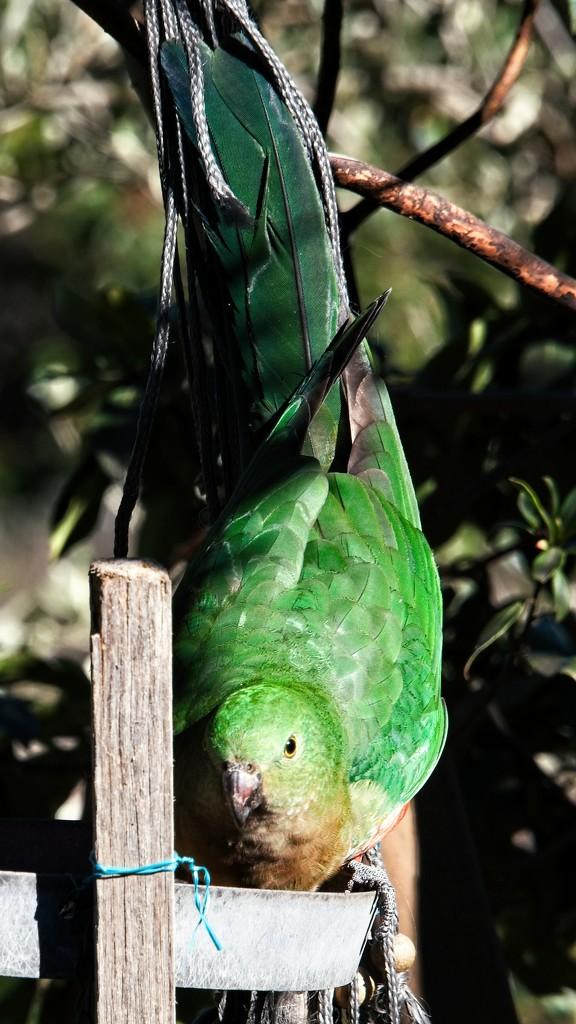Green parrot  by fr1da