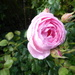 pink roses ...
