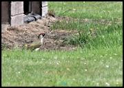 26th Jul 2020 - Green woodpecker