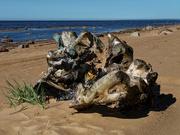 26th Jul 2020 - 0726 - Drift Wood on the Gulf of Finland