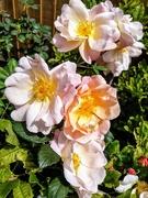 17th Jul 2020 - Blowsy roses
