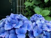 26th Jul 2020 - Blue Hortensia