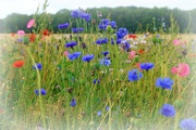 27th Jul 2020 - wild flowers