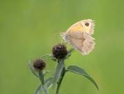 25th Jul 2020 - Meadow Brown in the meadow