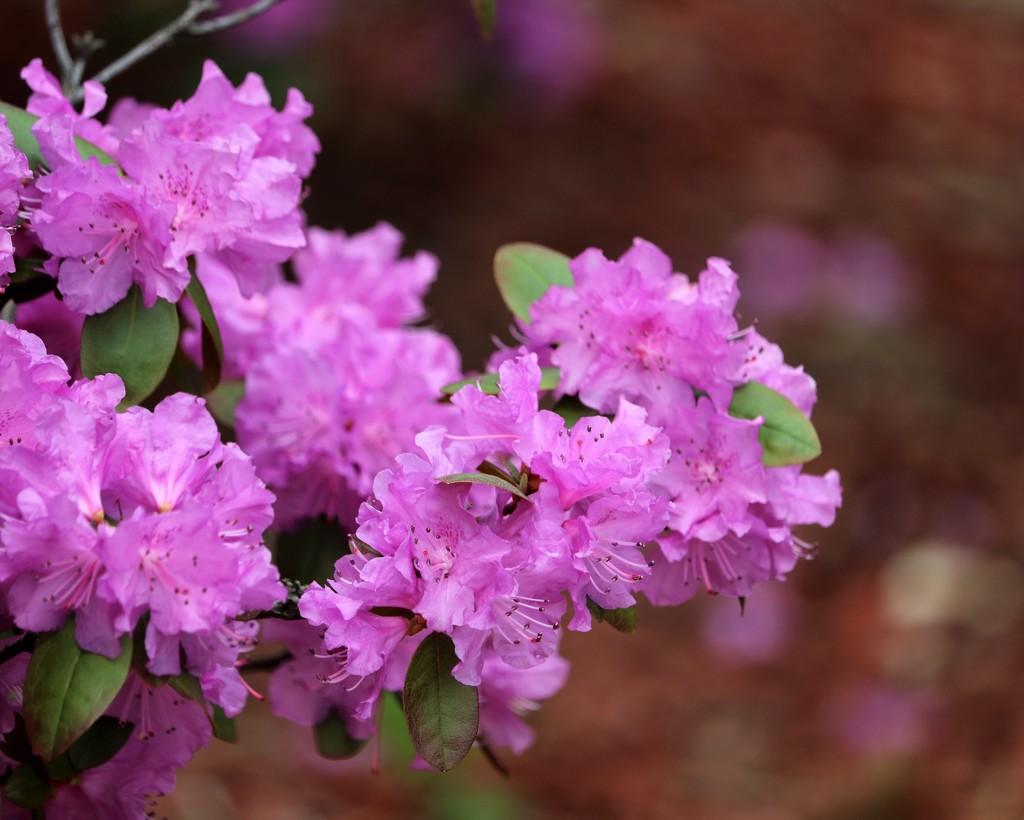 April 3: Azalea by daisymiller