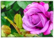 26th Jul 2020 - True Friendship is like a Rose
