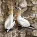 Gannets by shepherdmanswife