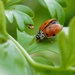 1,2,3,4,5,6,7,8,9,... yes, ten-spotted lady beetle :-)