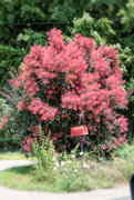 26th Jul 2020 - Red smoke tree